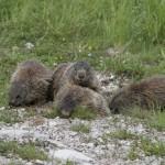 Marmotte di Antonio Borgo